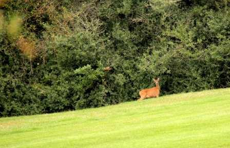 biche sur le golf